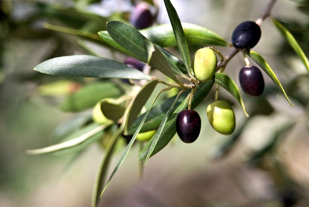 فوائد اوراق زيت الزيتون